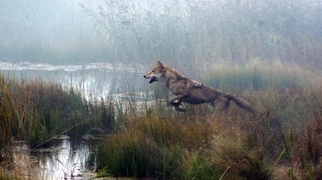 Wolf-Le-Dernier-Loup-Jean-Jacques-Annaud-Image-19