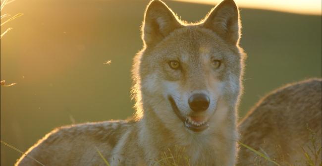 Wolf-Le-Dernier-Loup-Jean-Jacques-Annaud-Image-9